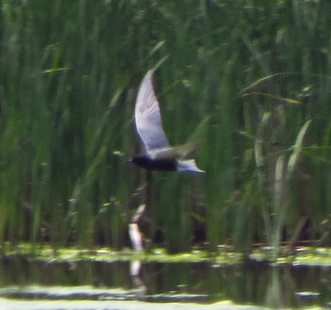Black Tern Gardner wetlands 5_17_2014